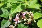 Biene tankt Nektar